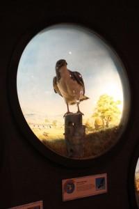 museum stuffed hawk