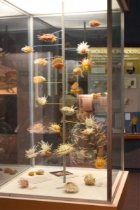 display of shells at Delaware Museum Natural History