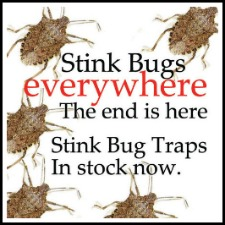 getting rid of stink bugs