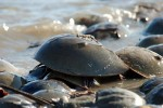 Peace, Love and Horseshoe Crab Festival