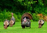 Got Wild Turkeys? Let DNREC Know