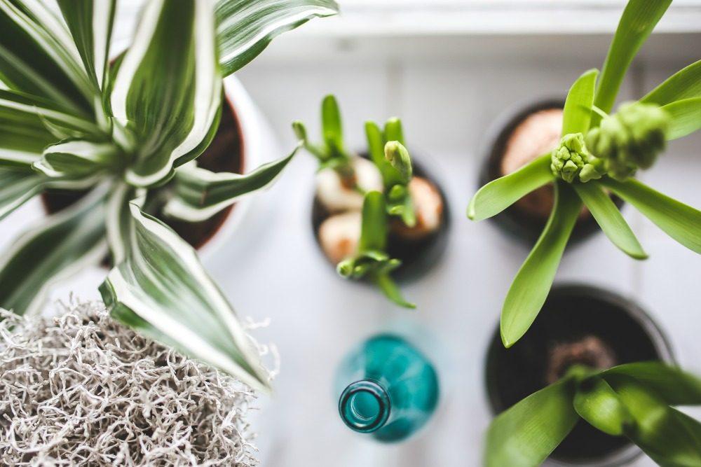 bulbs indoor plants