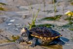Volunteer to Help Diamondback Terrapins Cross the Road!